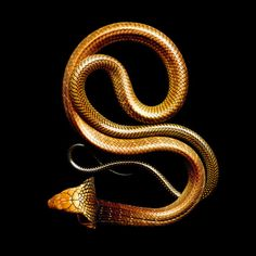 King Cobra, photo by Mark Laita is an advertising and fine art photographer based in Los Angeles.   http://www.featureshoot.com/2011/11/graphic-and-breathtaking-snakes-photographed-by-mark-laita/