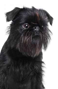 Get to Know the Brussels Griffon: The Grumpy-Looking Gremlin | Dogster