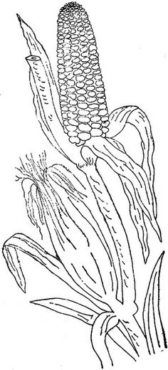 corn stalk template - pictures for reference on pinterest beatrix potter