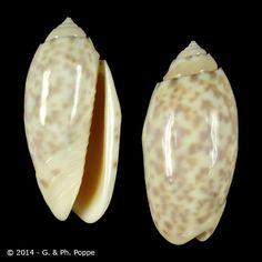 Oliva amethystina f. nebulosa size: 40 mm