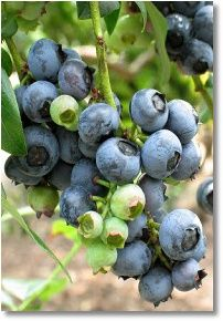 Adding Blueberries to your Home Vegetable Garden from Mike the Gardener