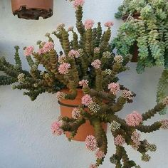 Crassula perforata (String of Buttons) Types Of Succulents, Cacti And Succulents, Planting Succulents, Cactus Planta, Cactus Y Suculentas, Succulent Landscaping, Landscaping Tips, Low Maintenance Plants, Hardy Plants