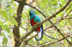 Quetzal Bird HD Wallpaper