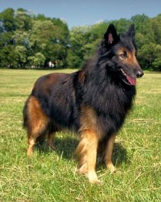 As an intelligent, sensitive dog, the Belgian Tervuren makes a wonderful addition to any home, as long as training is provided. The breed also enjoys having a job to do and needs daily exercise.