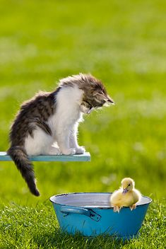 Kitty diving board and duck pool . Animals And Pets, Baby Animals, Funny Animals, Cute Animals, Funniest Animals, Unique Animals, Cute Kittens, Cats And Kittens, I Love Cats