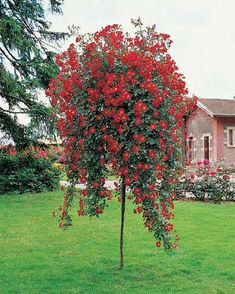 Tree Rose - Weeping Fuchsia