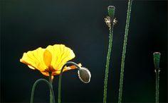 Gelbe Mohnblume - Jahreszeiten - Galerie - Community