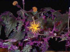 purple passon plants photos   Cv. 'Purple Passion' is a perennial vine with velvety-purple ...