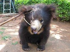 Over the centuries the ancient tradition of dancing bears in India has caused terrible suffering to thousands of sloth bears poached from the wild as cubs.