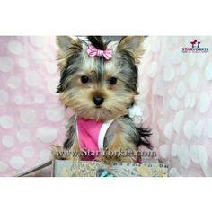 Victoria Beckham - Tiny Teacup Yorkie Puppy in Los Angeles CA staryorki.com