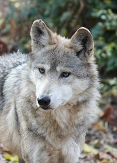 lobo mexicano, especie en peligro de extinción, especie endémica del Edo. de Durango México. MexicanWolf CanisLupusBaileyi5.jpg