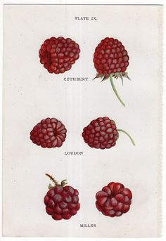 1913 raspberries berries berry fruit print by antiqueprintstore