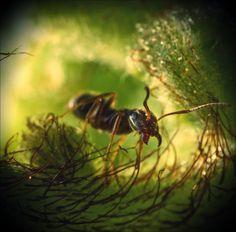 watchman - macro photoof an ant - by ForrestBump.deviantart.com
