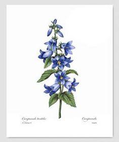iris botanical illustration redoute - Google Search Feng Shui Artwork, Blue Bedroom Walls, Joseph, French Country Decorating, Botanical Illustration, Flower Prints, Blue Flowers, Iris, Wall Art