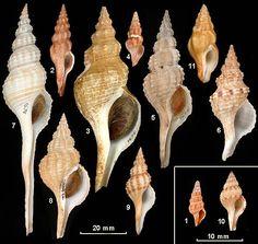 Family Fasciolariidae 1. Dolicholatirus cf. spiceri 2. Dolicholatirus thesaurus 3. Fasciolaria australasia 4. Fractolatirus normalis 5. Fusinus annae 6. Fusinus consetti 7. Fusinus novaehollandiae 8. Fusinus undulatus 9. Granulifusus consimilis 10. Latirus staminatus 11. Peristernia brazieri