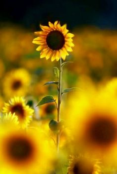 "This week's fan photo theme is ""sunflowers."" Share your beautiful shots using Sunflower Garden, Sunflower Fields, Happy Flowers, Beautiful Flowers, Sun Flowers, Sunflower Photography, Sunflowers And Daisies, Sunflower Pictures, Sunflower Jewelry"