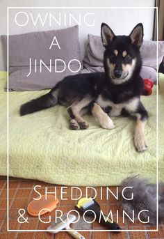 Owning a Korean Jindo & how to deal with shedding in double coated dogs