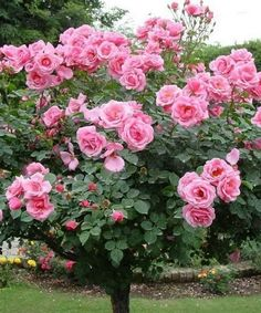 !! Enjoy from the last summer roses!! a lots of love 🙏🙋♀️..⚘⚘⚘⚘⚘⚘⚘⚘⚘⚘⚘💕🍃#beautiful#nature#love#enjoy#park#Gardenlover#walking#blessings#God#sayings#life#care#family#friends#blessings#God#