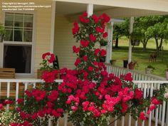 Large Flowered Climbing Rose 'Blaze'  Rosa