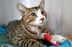 Do or do not. There is no try. The famous quote from Star Waru2019s Yoda is fitting for his feline namesake, a beautiful one-year-old male tabby at the Nanaimo SPCA who was hit by a car. The accident fractured Yodau2019s pelvis and femur, leaving him unable to stand or walk. spca.bc.ca/news-and-eveu2026/u2026/news-nanaimo-yoda-needs-help.html  Despite his painful injuries, Yoda is a real sweetheart, and the branch is hoping animal lovers can come together to help him live a pain free life.