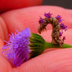 This little caterpillar, a Camouflaged Looper takes petals from flowers and puts them on himself for camouflage !! When the flowers wither and brown, he takes them off and puts new ones on. A fashionably sensible caterpillar. Adorable.   [Image courtesy of Hopefoote Ambassador of the Wow''s Flickr stream]  http://www.mentalfloss.com/blogs/archives/121763#ixzz1r5UH6mFL  --brought to you by mental_floss!