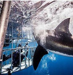 White Shark - Shark cage diving