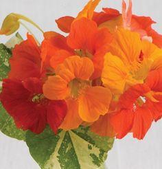 Flower Nasturtium Alaska Mix (Multi Color) 50 Seeds by David's Garden Seeds Edible Flowers, All Flowers, Beautiful Flowers, Short Plants, Tall Plants, How To Attract Hummingbirds, Attracting Hummingbirds, Growing Gardens, Garden Seeds