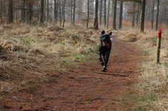 Grote Munsterlander Eppo... heerlijk rennen in het bos