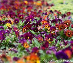 Pansies, Clark Gardens, Weatherford, Texas