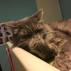 Sleepy  #tofutheking #cat #cats #TagsForLikes #catsagram #catstagram #instagood #kitten #kitty #kittens #pet #pets #animal #animals #petstagram #petsagram #photooftheday #catsofinstagram #ilovemycat #instagramcats #nature #catoftheday #lovecats #furry #sleeping #lovekittens #adorable #catlover #fluffy #fluffytofu by tofutheking