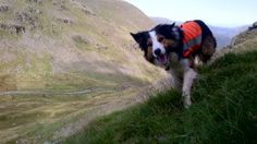 Mountain rescue dogs protected from Lyme disease - Mountain rescue dogs in the Lake District have been vaccinated against the tick-borne illness, Lyme disease, following research showing that ticks are becoming increasingly widespread. Click through to read article.