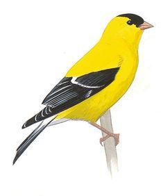 Audubon Guide to North American Birds Yellow Finch, Yellow Birds, Bird Guides, Common Birds, Bird Calls, Nature Music, Backyard Birds, Small Birds, Wild Birds
