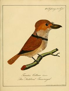 Voegel aus Asien, Afrika, Amerika und Neuholland. By Hahn, Carl Wilhelm, 1786-1836, Kuster, H. C. (Heinrich Carl), 1807-1876 - Biodiversity Heritage Library
