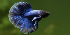 Betta fish Half Moon