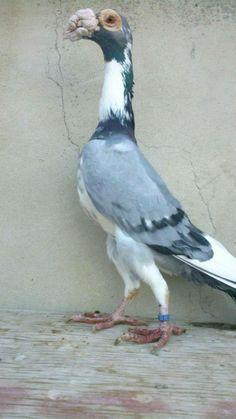 Racing Pigeon Lofts, Pigeon Breeds, Wild Animals Pictures, Racing Pigeons, Bird Feathers, Beautiful Birds, Tropical, English, Pets
