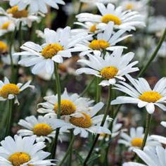 Shasta Daisy - Big, gorgeous white flowers all summer. Can be direct sown outdoors after frost, but they need light to germinate, so just press into soil and water, don't cover. Old fashioned favorite that is practically care free. Cut flowers back when they get ragged to keep it blooming all summer.