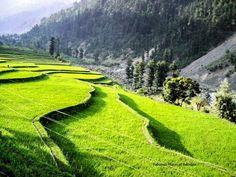 Rice fields in Leepa valley, Pakistan