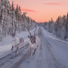 Finland's Lapland is the ultimate winter getaway. Don't miss these things to do and places to see, including reindeer, northern lights, and traditional spas. Beautiful Creatures, Animals Beautiful, Winter Szenen, Winter Travel, Winter Road, Snowy Day, Winter Beauty, All Gods Creatures, Fauna