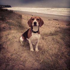 Hector beagle castlerock beach