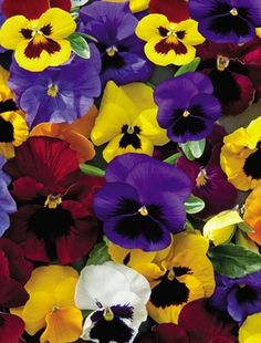 Pansies are my favorite flower.  Their happy little faces always greeting you with a smile.