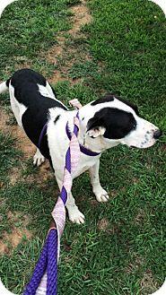 Albemarle, NC - Pit Bull Terrier Mix. Meet Elsa, a puppy for adoption. http://www.adoptapet.com/pet/12431974-albemarle-north-carolina-pit-bull-terrier-mix