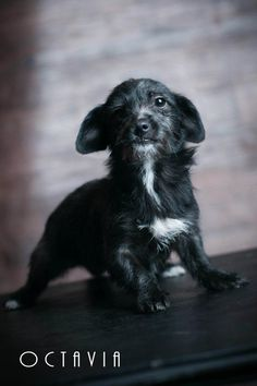 Octavia- Terrier Mix (5 Months Old)