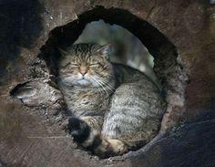 Un chat forestier fait sa sieste au zoo de Duisbourg.