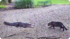 House Cats Versus Alligators and The Cats Win AWESOME!! - http://www.catnipdaily.com/house-cats-versus-alligators-and-the-cats-win-awesome/