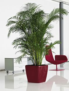 office plants | Office Plants | Snake Plant For amazing office plants in Australia, with planters in any colour...see www.greendesign.com.au