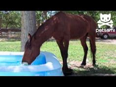 Horse loves the water! He splashes and plays a in a kiddie pool!  Many horses actually LOVE playing in water, given the opportunity!  My horse used to do this when I rode him in a lake or river...cool!!
