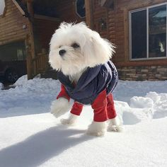 Repost @einstein_the_maltese Cold? I don't feel cold at all! Little maltese Einstein marches so elegantly in the snow...lol so cute! ・・・ Puffer jacket available here: www.unitedpups.com/chill ・・・ #snowdog #puffer #dogclothes