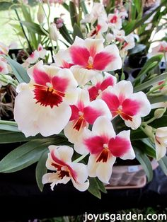 Pansy Orchids. .....O.k....There's Two Orchids I Like....