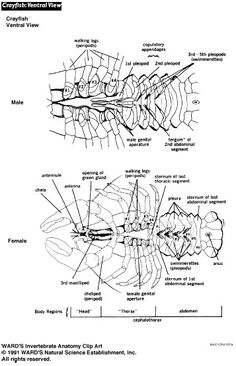 This worksheet serves as a guide for dissecting the fetal