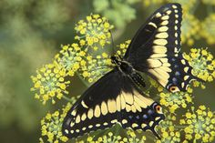 Eastern Black Swallowtail  butterfly nectaring on dill in garden designed by Brent Knoll of Knoll Landscape Design